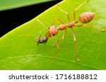 Red Ant On Green Leaves On A...