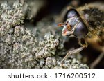 Macro Face Of Fly  Diptera Wit...