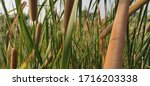 Small photo of Titles: Typha, reed mace, reedmace Description:Cattail, (genus Typha), genus of about 30 species of tall reedy marsh plants (family Typhaceae), found mainly in temperate and cold regions of Northern