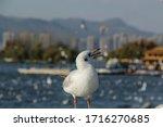 Grey Seagull Bird Is Standing...