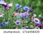 Blooming Colorful Cornflowers....