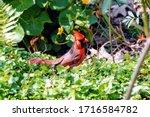 Red Male Northern Cardinal Bird ...