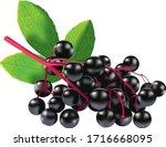 Elderberry Vector Illustration...