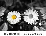 Two Daisies Flowers One Colorful