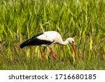 Adult European White Stork ...