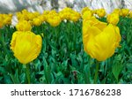 Yellow Parrot Tulips Against...