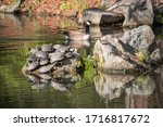 Turtles Crowded On To A Rock I...