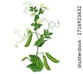 green pea plant  pea pods ... | Shutterstock .eps vector #1716923632