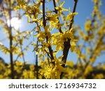 Spring Tree Flowering  ...