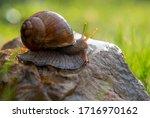 An Ordinary Garden Snail On A...