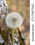 Dandelion Flower Blow Ball With ...