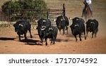 Brave Spanish Bulls Running In...