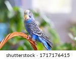 A beautiful wavy parrot of blue ...