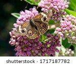A Common Buckeye Butterfly...