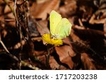 A Common Brimstone Butterfly ...