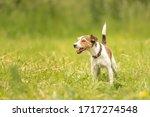 Lovely Parson Russell Terrier...