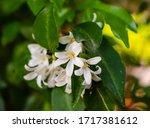 Cluster Of Orange Jasmine...