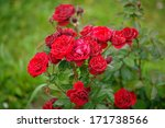 Web On Roses. Red Roses On A...