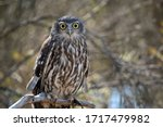 The Barking Owl Is Also Known...