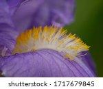 Stamens Of A Bearded Iris