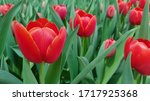 Red Tulips Against Green...
