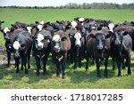 Cattle Grazing On A Farm.