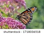 A Monarch Butterfly  Danaus...