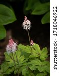 Small photo of Tiarella, also know as foam flower which gracefully bloom into starry, creamy white flowers with a twinge of pink.