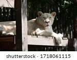 A Large Female White Lion...