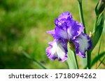 Very Nice Colorful Iris Close...