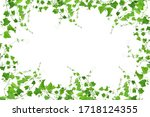 Green Ivy Isolated On A White...
