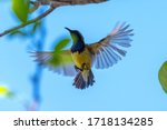 Olive backed sunbird  yellow...