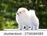 White Pomeranian Puppy Stands...