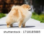 Red Pomeranian Spitz Stands On...