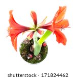 Top View Of Amaryllis In Flowe...