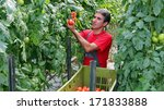 Farmer Picking Tomatoes....