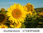 Sunflower cultivation at...