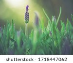 Small photo of Lavender bushes closeup on sunset. Lavender field closeup. Blooming lavender.Sunset gleam over purple flowers of lavender.