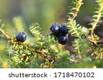 Small photo of Empetrum nigrum, crowberry, black crowberry, in western Alaska, blackberry is a flowering plant species in the heather family Ericaceae with a near circumboreal distribution in the northern hemisphere