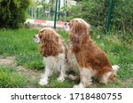 two cute cavalier king charles... | Shutterstock . vector #1718480755