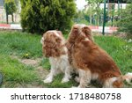 two cute cavalier king charles... | Shutterstock . vector #1718480758
