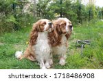 two cute cavalier king charles... | Shutterstock . vector #1718486908