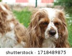 two cute cavalier king charles... | Shutterstock . vector #1718489875