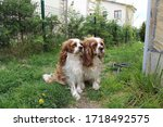 two cute cavalier king charles... | Shutterstock . vector #1718492575