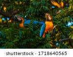 Blue And Gold Macaw In Brazil ...