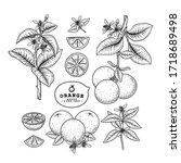 Vector Sketch Citrus Fruit...