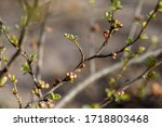 Quince Buds In Japanese Spring. ...