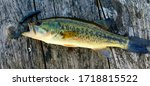 Small Largemouth Bass on a Dock