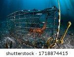 A California Spiny Lobster ...