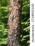 Japanese Red Pine  Pinus...